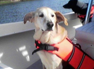 Dog with life jacket on a boat