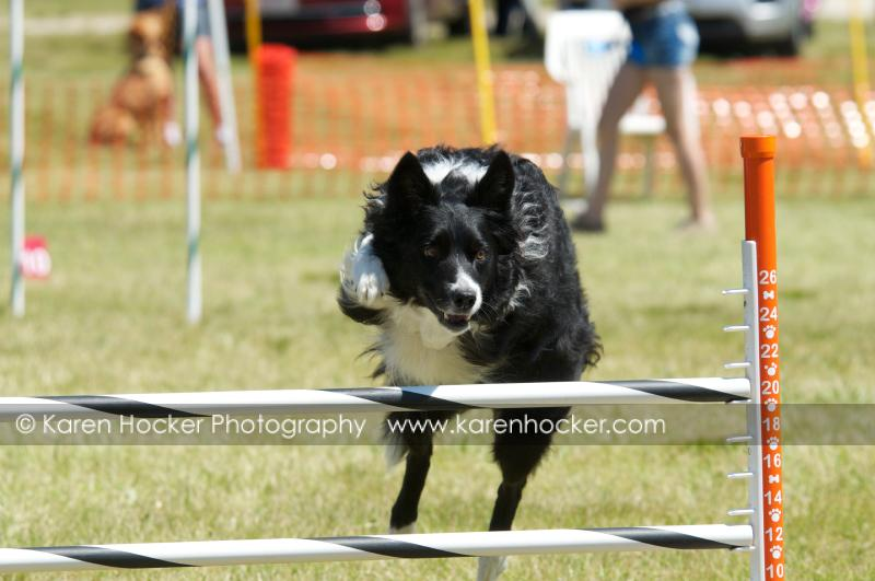 Front-facing view of dog in the air humping a hurdle.