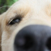 Close up of dog nose, sniffing at camera
