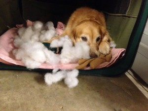 Dog next to the contents of a pillow that he has chewed apart