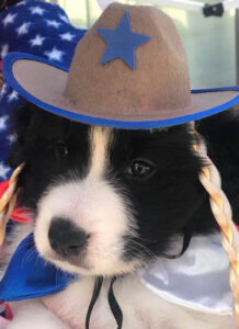 Border collie puppy closeup with hat on